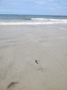 2021 Sea Turtle Nesting Season Nest #7  hatchling